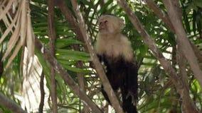 Oerhörd central amerikansk vit-vänd mot capuchinapa som klättrar ett träd arkivfilmer