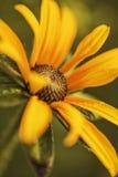 Oerhörd färg för blommaknopp av solen Royaltyfri Foto