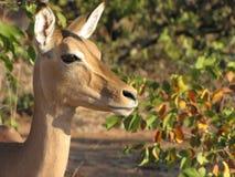 Oerhörd impala Arkivfoton