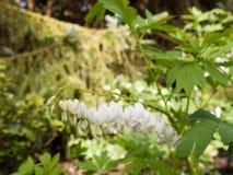 Oerhörd vit och hängande blödande hjärtor i trädgården lampa arkivfoton