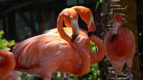 Oerhörda rosa flamingoanbudfåglar som har, vilar att bli lugnar av dammet som tätt sover i lös natur i 4k upp sikt stock video