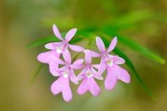Oerstedella centradenia, Panamska dzika orchidea, menchia kwitnie, natury siedlisko Piękny storczykowy kwiat, zakończenie szczegó Zdjęcia Stock