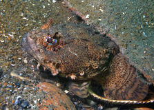 Oester Toadfish 2 royalty-vrije stock foto