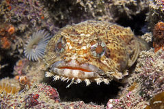 Oester Toadfish royalty-vrije stock foto