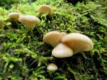 Oesterpaddestoelen - Pleurotus-ostreatus Stock Afbeelding