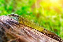Oestliche Smaragdeidechse, Lacerta viridis, Europejska zielona jaszczurka przy słonecznym dniem Przestrzeń dla teksta obraz stock