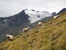 Oetztal : 在阿尔卑斯的绵羊 免版税库存图片