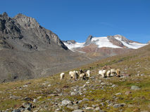 Oetztal : 在阿尔卑斯的绵羊 免版税图库摄影