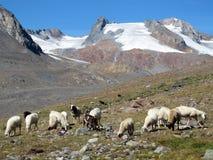 Oetztal : 在阿尔卑斯的绵羊 库存图片