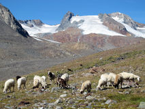 Oetztal: Pecore su un'alpe Immagine Stock