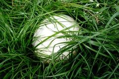 Oeuf d'autruche Image stock
