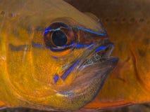 Oeuf dans la bouche de poissons Photos libres de droits