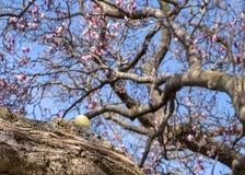Oeuf de pâques jaune caché sur la branche d'un arbre de bourgeonnement de magnolia photo libre de droits