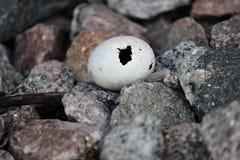 Oeuf de pigeon Photographie stock libre de droits