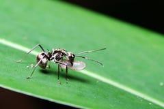 Oeuf de transport de fourmi sur la feuille images stock