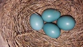 Oeufs bleu-clair de robin's dans un nid photographie stock