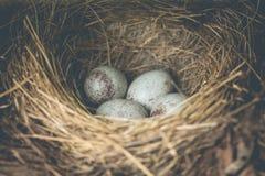 Oeufs bleus d'oiseau Images libres de droits