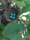 Oeufs bleus d'oiseau Images stock