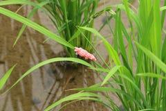 Oeufs d'escargot Photo stock