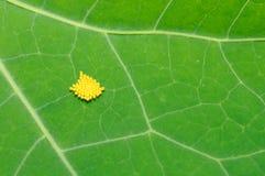 Oeufs d'insecte sur la lame verte Images stock