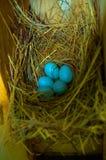 Oeufs d'oiseau bleu photographie stock