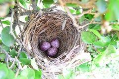 Oeufs d'oiseau dans le nid Images stock