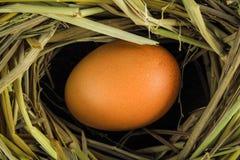 Oeufs de Brown en oeufs de poule de nid Photographie stock libre de droits