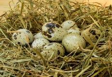 Oeufs de caille dans le nid Photo stock