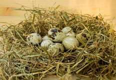 Oeufs de caille dans le nid Photos stock