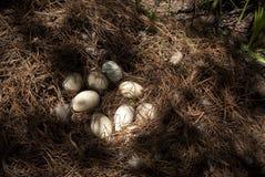 Oeufs de canard Images libres de droits