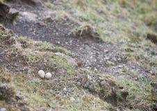Oeufs de l'huîtrier eurasien Photo libre de droits