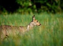 Oeufs de Laughin sur un champ vert dans le matin Image libre de droits