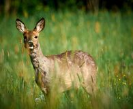 Oeufs de Laughin sur un champ vert dans le matin Photos libres de droits