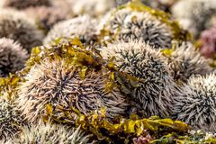 Oeufs de mer Photographie stock