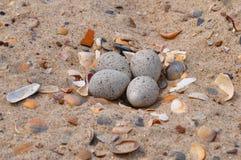 Oeufs de mouettes dans le sable en plage images libres de droits