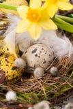 Oeufs de pâques dans le nid avec le narcisse Photographie stock libre de droits