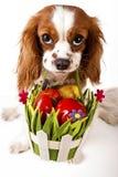 Oeufs de pâques dans le panier avec le chien de Pâques Joyeuses Pâques Épagneul de roi Charles cavalier tenant le panier d'oeuf d image libre de droits