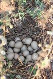 Oeufs de perdrix dans le nid Photos stock