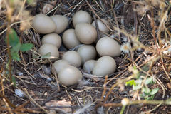 Oeufs de perdrix dans le nid Photo libre de droits