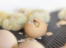 Oeufs de poulet dans l'incubateur, un oeuf avec un trou où vous pouvez voir un petit poulet images stock