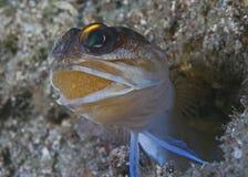 Oeufs de transport de Jawfish dans la bouche Photographie stock libre de droits