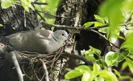 Oeufs de trappes de colombe dans le nid photo libre de droits
