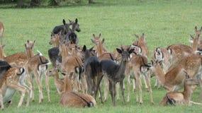 Oeufs de troupeau de cerfs communs dans la r?gion sauvage d'Essex image stock