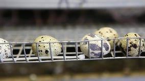 Oeufs des cailles dans les cages à la ferme avicole banque de vidéos