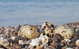 Oeufs des cailles sur la plage pierreuse Image stock