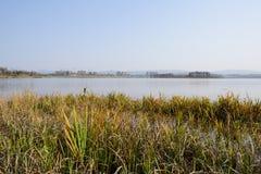 Oever van het meer aquatisch gras in water op zonnige de winterdag stock foto's
