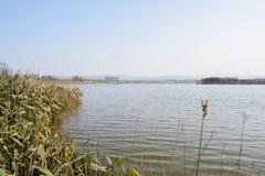Oever van het meer aquatisch gras in zonnige de wintermiddag stock foto