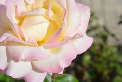 Oförglömlig charmig knopp av en blomstra ros av mjuk vit, kräm- färg med en rosa färg royaltyfria bilder