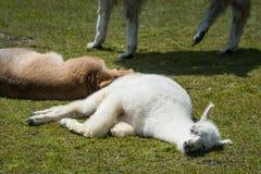 Oförsiktiga bruna och vita lamor som vilar på gräs arkivfoto