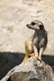 Oförskräckt meerkatsammanträde på en vagga Arkivbilder
